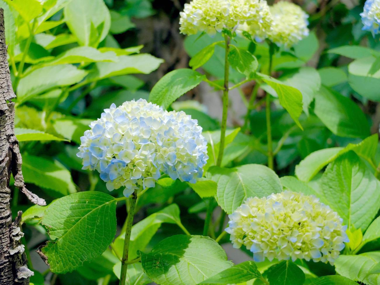 季節に咲く野の花を愛でる|6月 紫陽花(あじさい)
