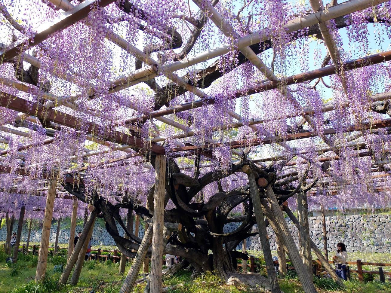 季節に咲く野の花を愛でる|5月 藤の花