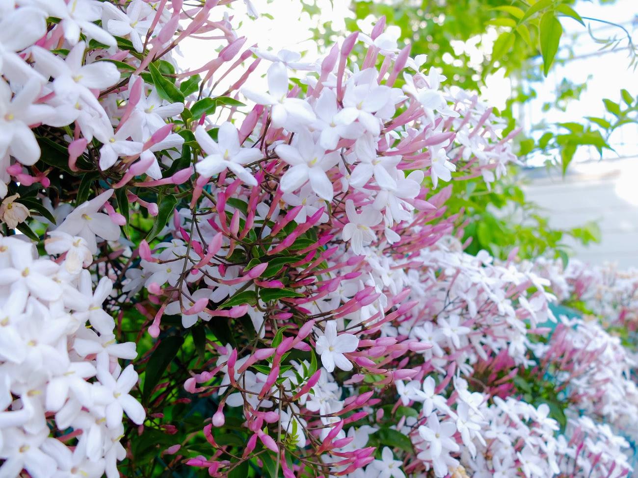 季節に咲く野の花を愛でる|5月 羽衣(ハゴロモ)ジャスミン