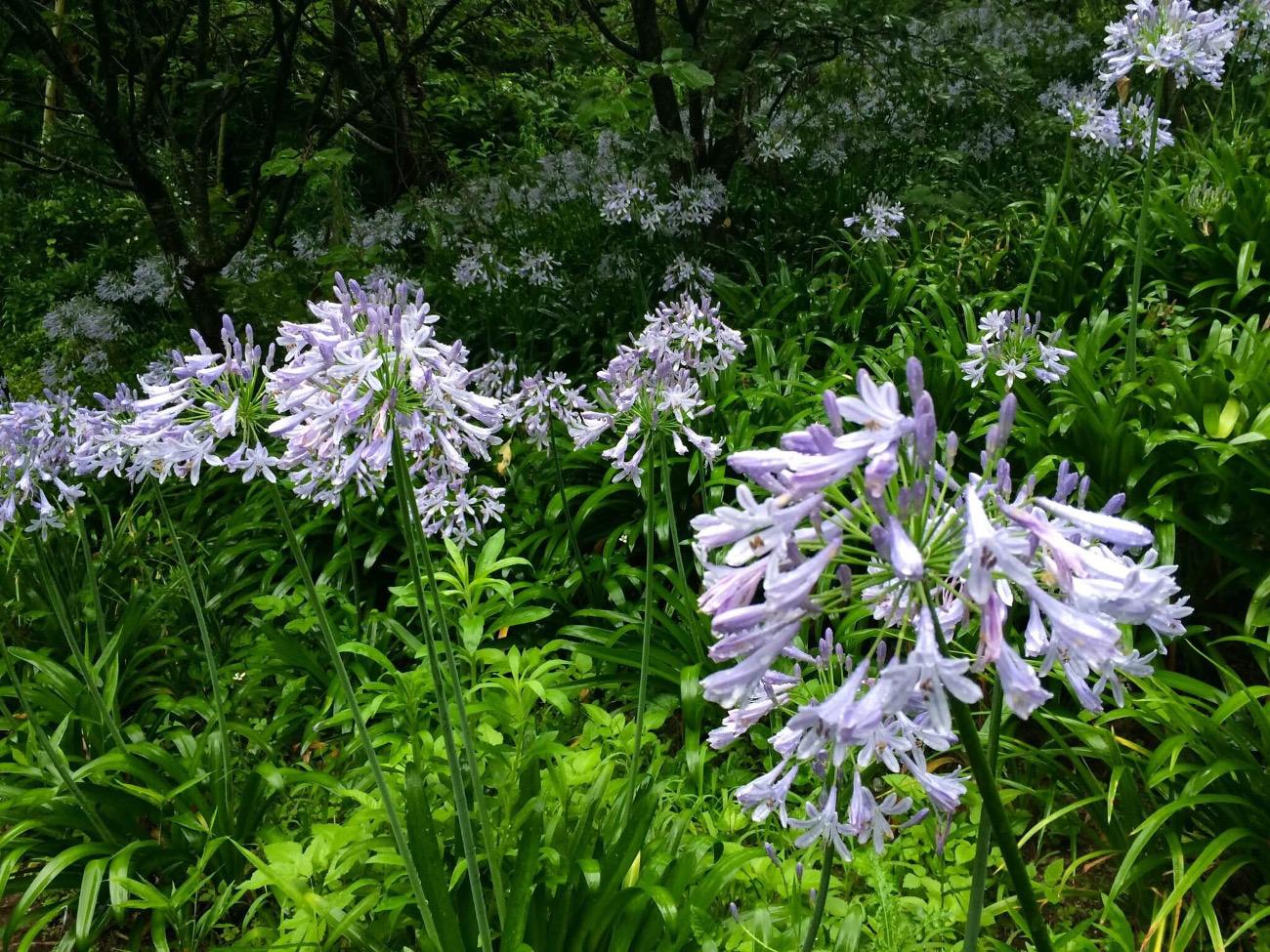 季節に咲く野の花を愛でる|8月 アガパンサス