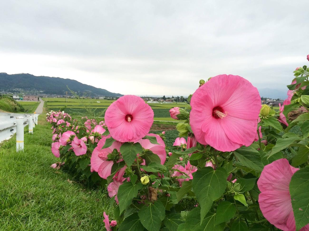 ビビッドな一日花「アメリカフヨウ」|季節に咲く野の花を愛でる(8月)