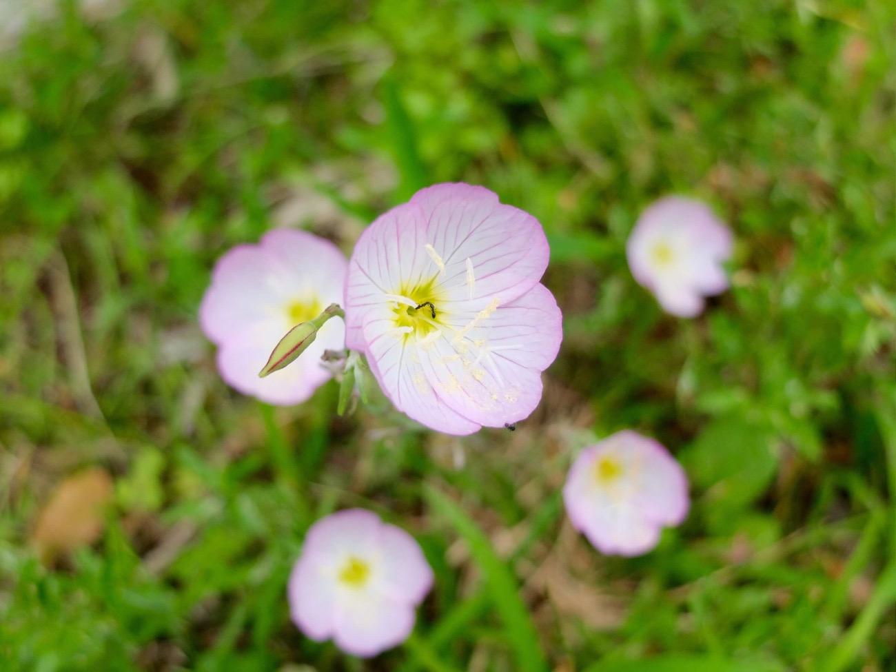 季節に咲く野の花を愛でる|8月 ヒルザキツキミソウ