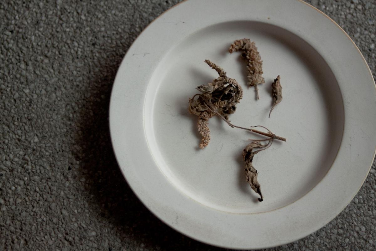【連載】からだを慈しむ、薬草の旅 vol.5|アイヌが愛用するナギナタコウジュ