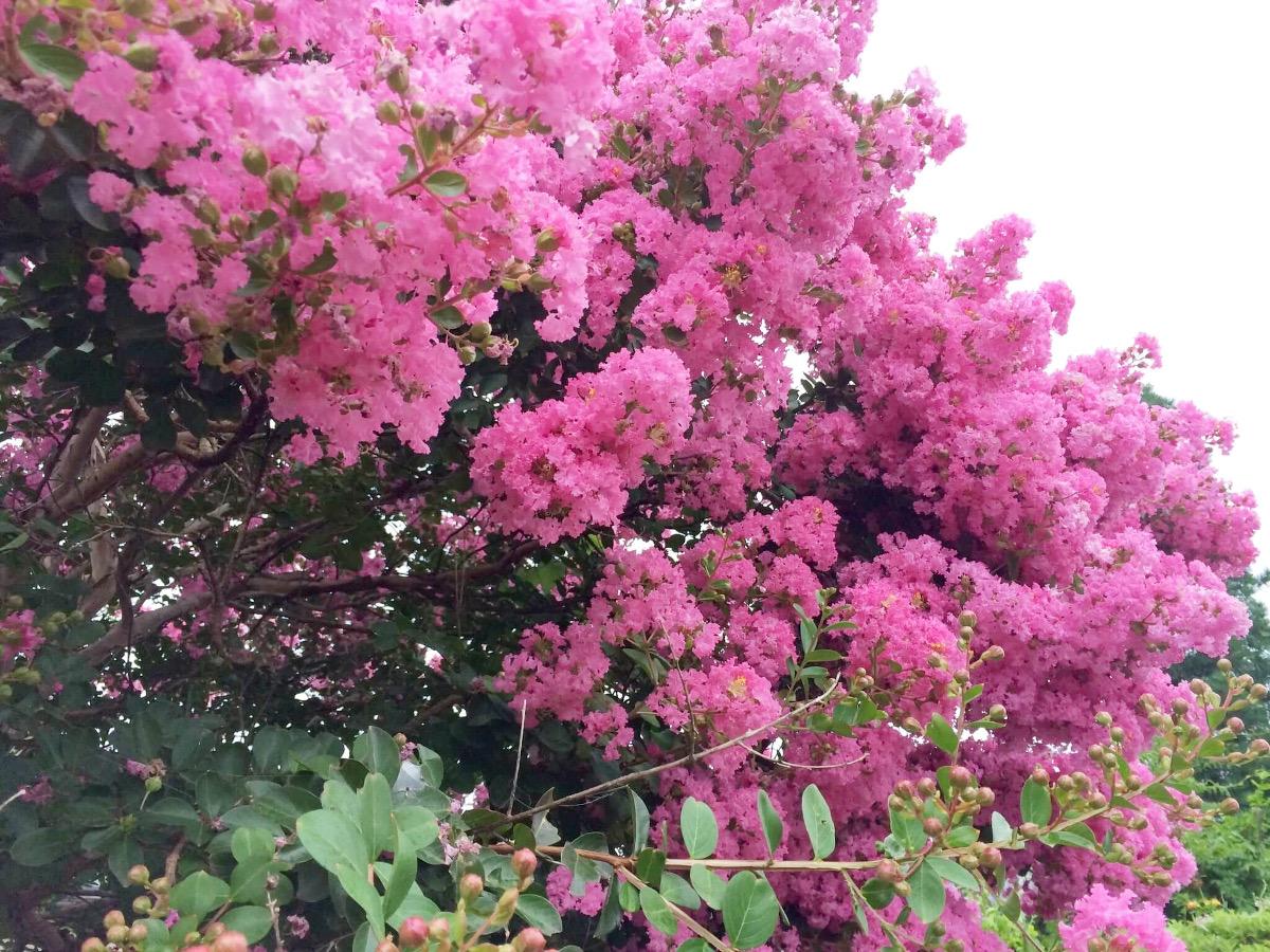 夏の終わりを告げる百日紅(サルスベリ)|季節に咲く野の花を愛でる(9月)