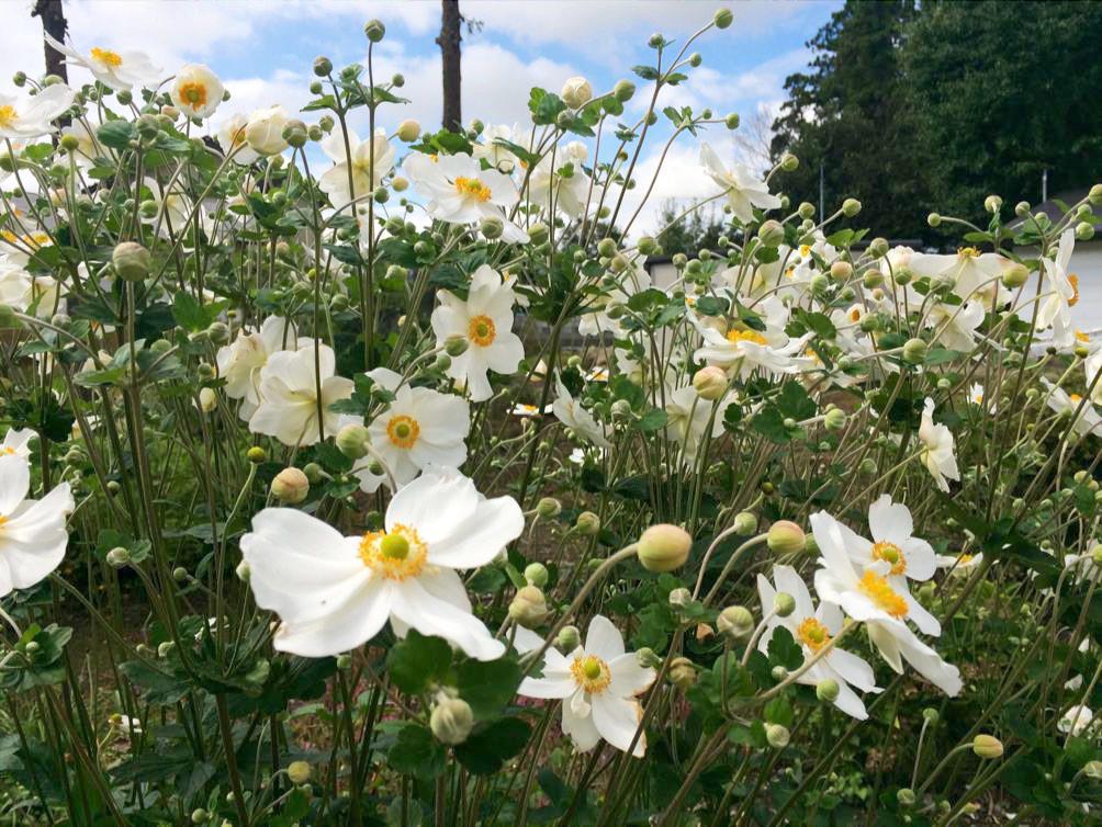 すっと伸びる姿に気品あふれるシュウメイギク|季節に咲く野の花を愛でる(10月)