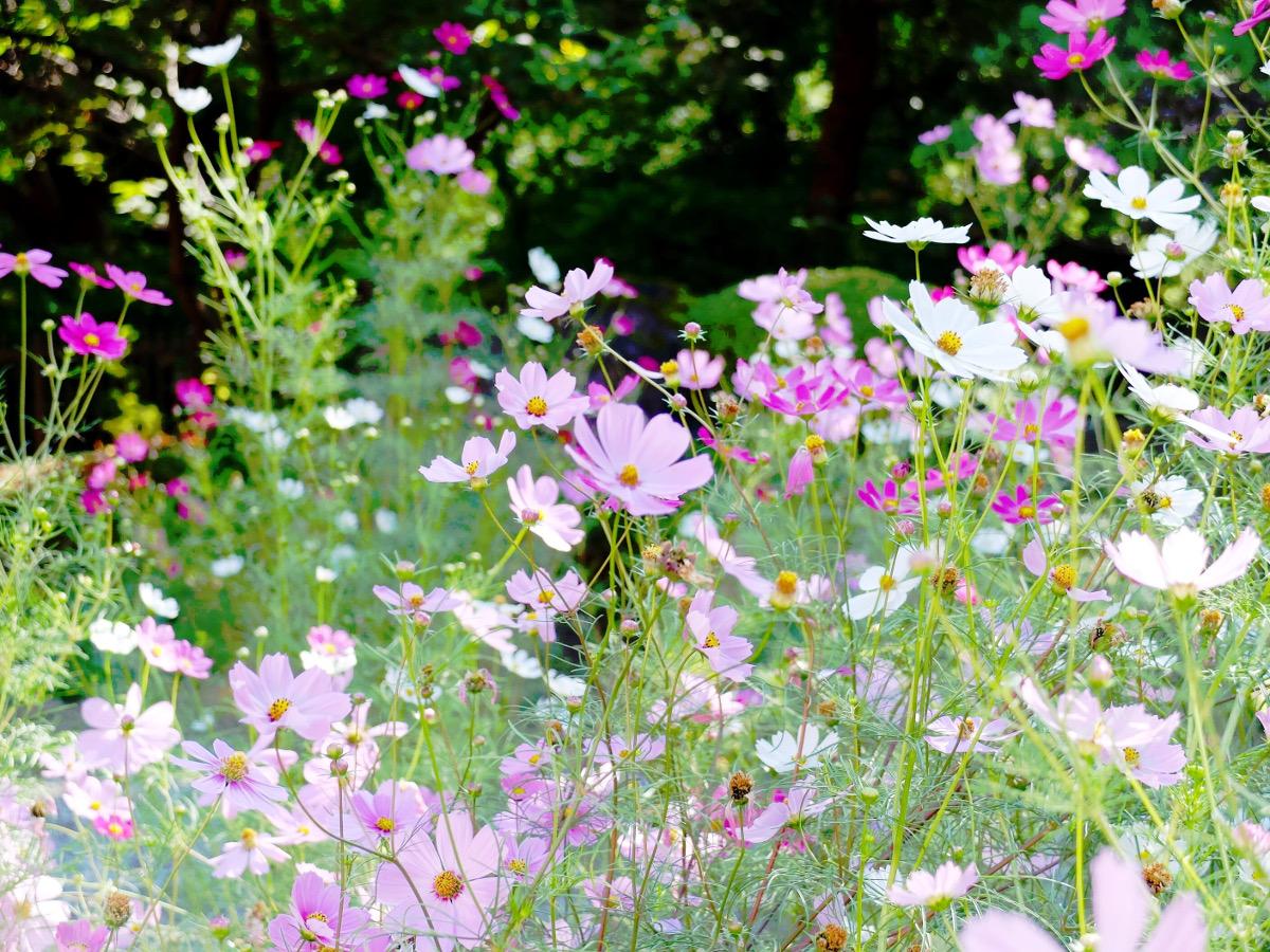 女性の象徴でもある「コスモス」|季節に咲く野の花を愛でる(11月)