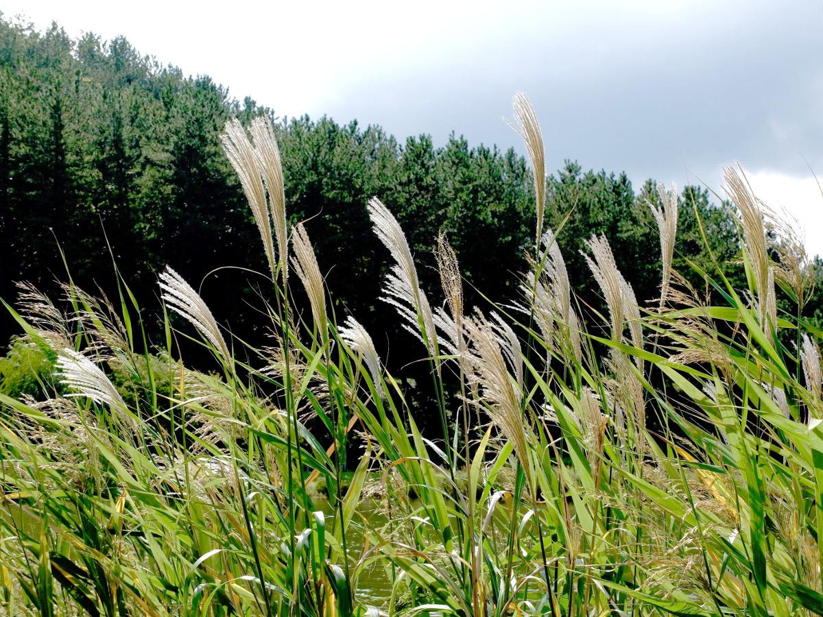 秋の風物詩「ススキ」|季節に咲く野の花を愛でる(11月)