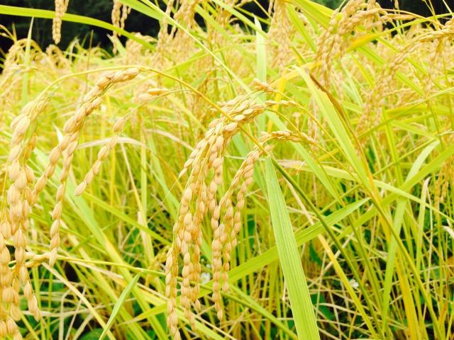 ブラウンズフィールドの稲刈りの巻
