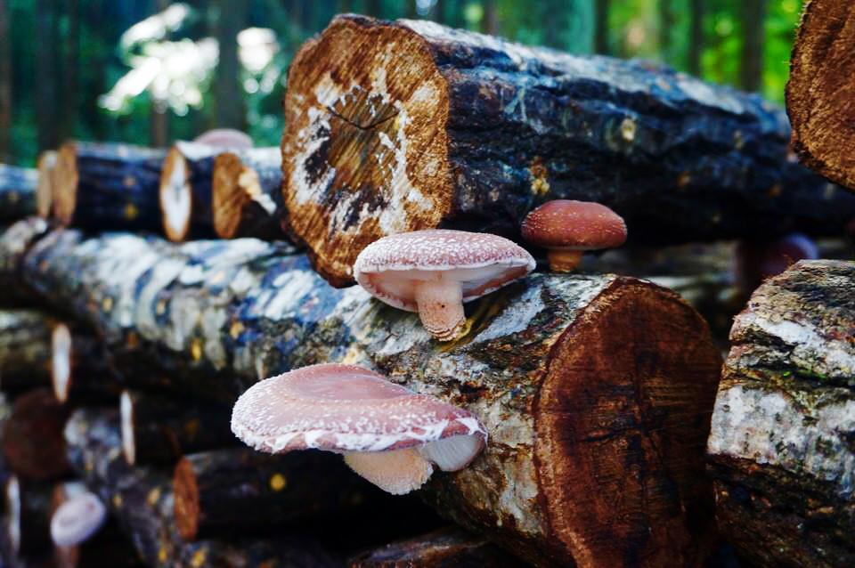 木に生えたシイタケ